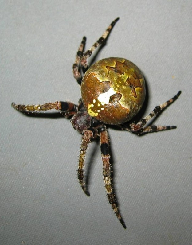 Spider collected as part of a food web study examining PCB cycling.